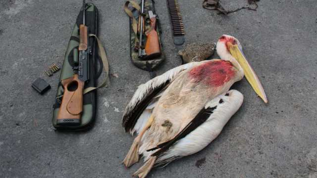 Пеликана застрелил браконьер на озере в Казахстане