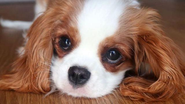 Самую болезненную породу собак назвали учёные