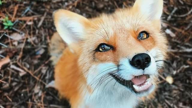 Непрошенные гости: Дикие лисы заглядывают в Рудный и Лисаковск