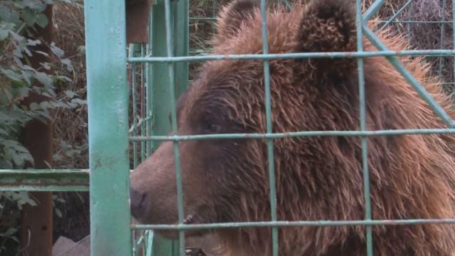 Покусавшая девочку медведица Катя перевезена в Петропавловск