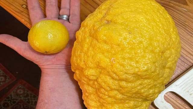 Лимон весом более двух килограммов вырастили садоводы