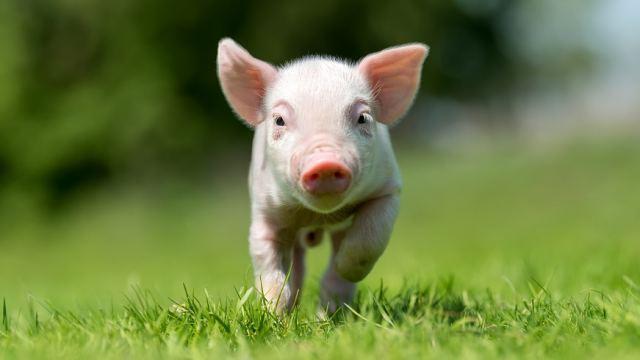 Хирурги впервые успешно пересадили человеку почку свиньи