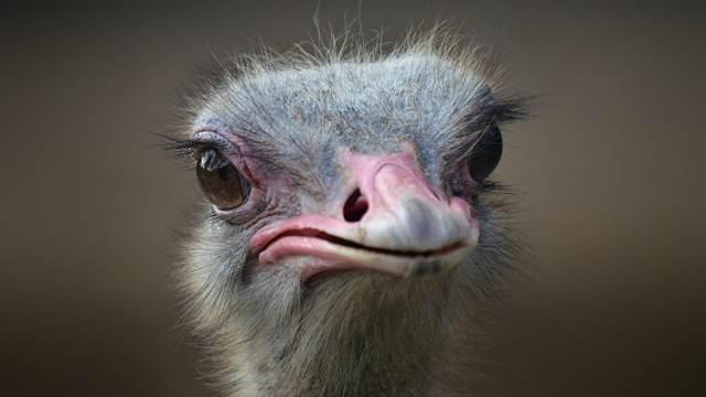 Два дегенерата жестоко поиздевались над страусами в клетке