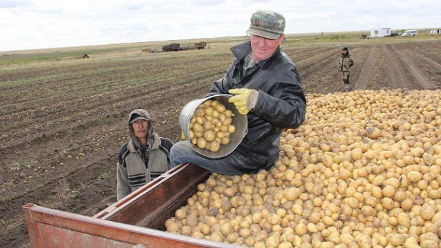 «Антошка, Антошка»: Картофель ещё убирают в Костанайской области